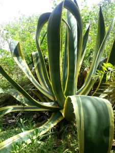 1,5 m hohe Agave