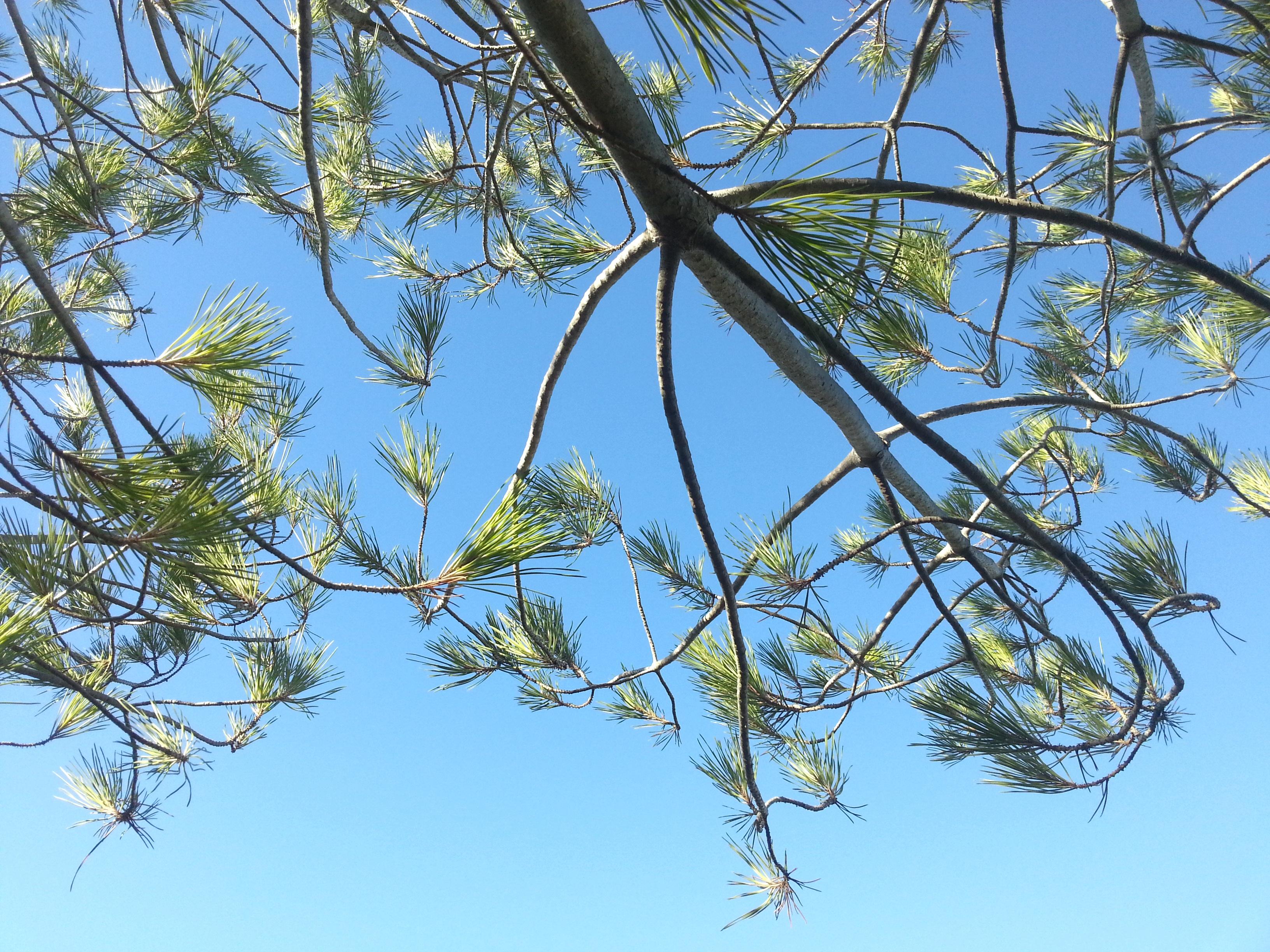 Zarte Pinienzweige gegen hellblauen Himmel